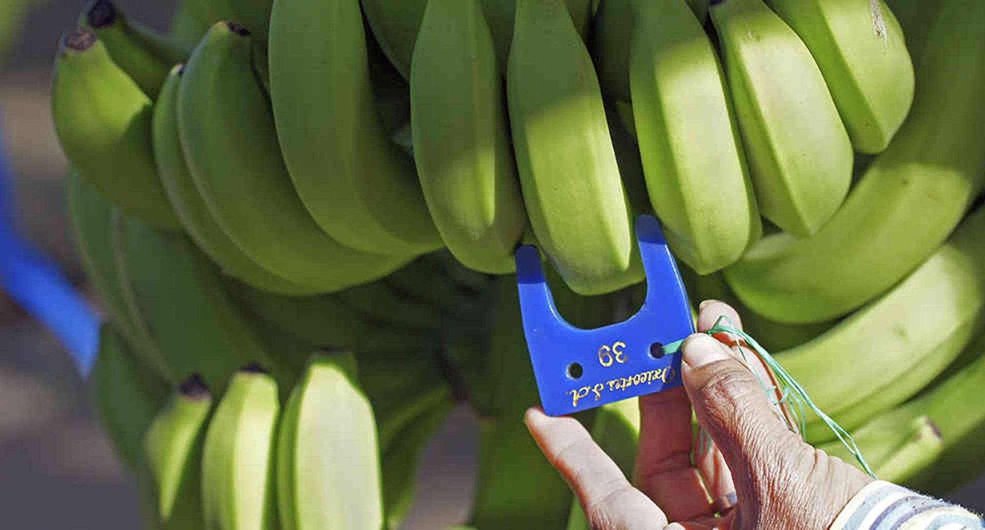 El banano del Grupo Daabon llega a más de 150 tiendas de Ito Yokado, una de las cadenas de supermercados más grandes de Japón.