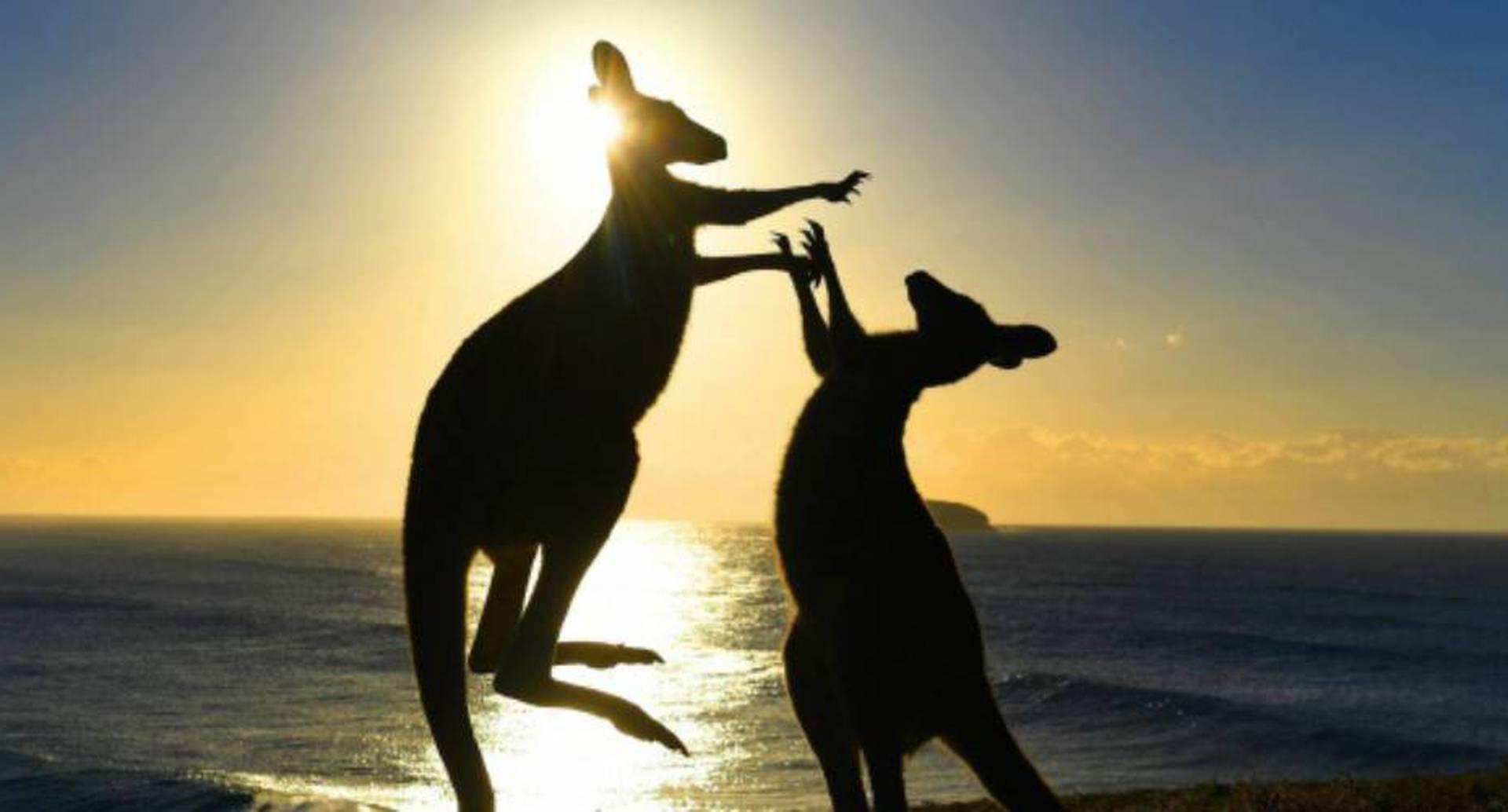En Australia dieron licencia para cazar canguros que invadan las fincas de los humanos.  Foto: archivo/EFE