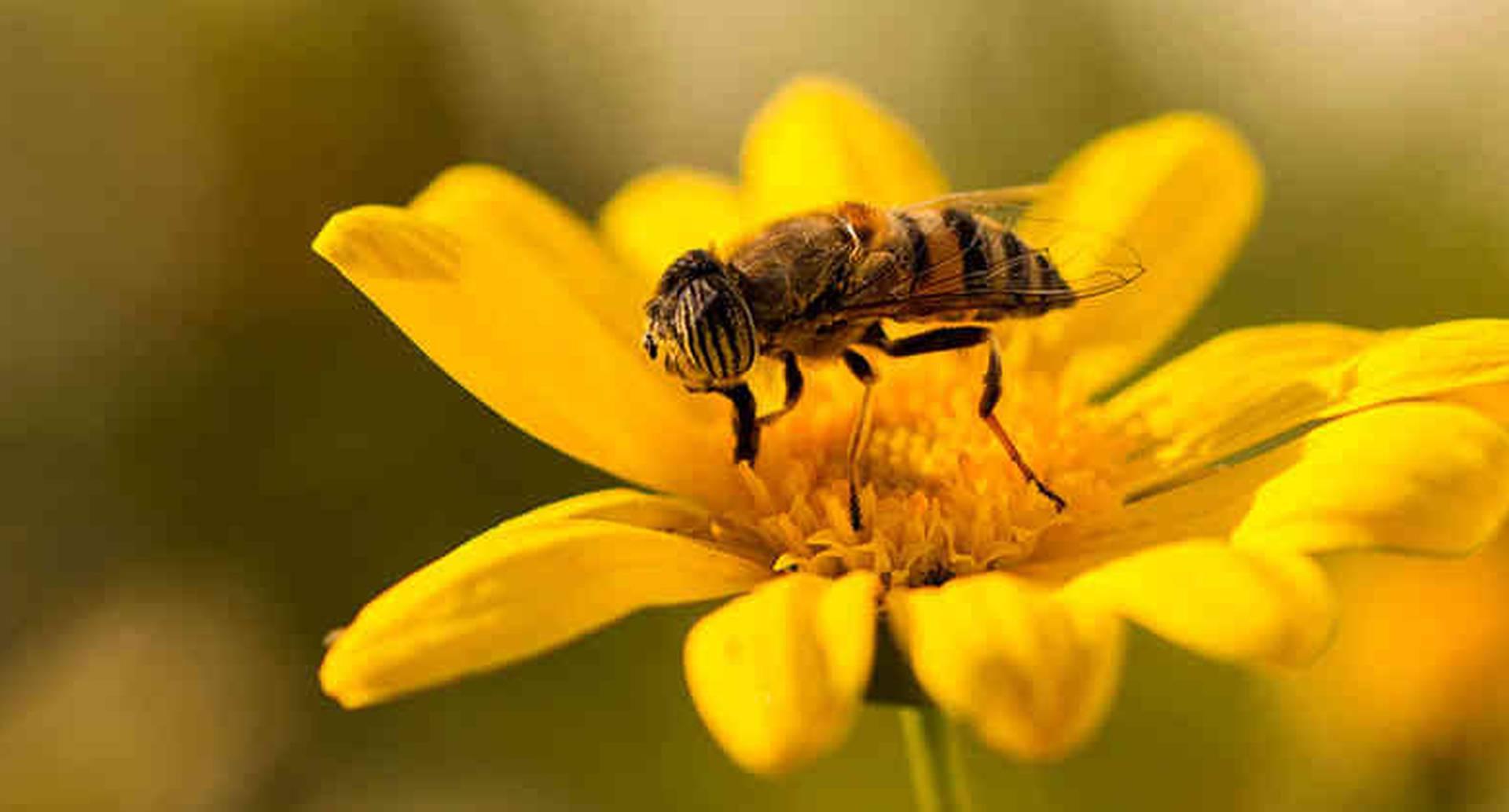 Con la disminución de los polinizadores, algunos agricultores han acudido al alquiler de abejas o a la polinización manual, como es el caso de árboles frutales en algunas regiones de China.