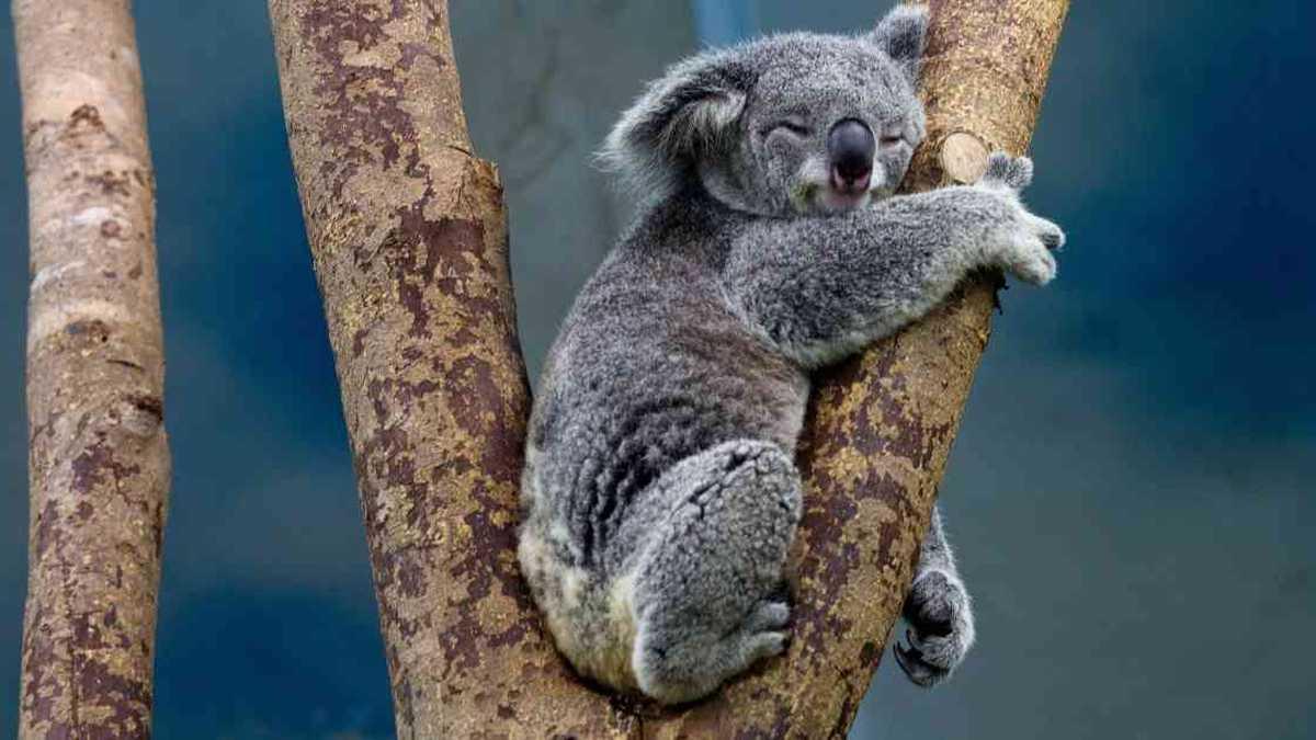 Koalas, rumbo a la extinción? 5 cosas para salvarlos
