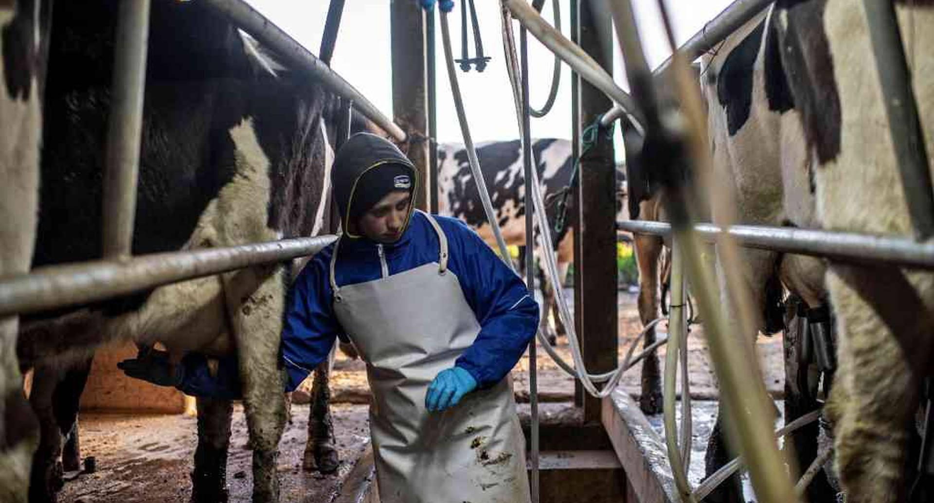 Una granja lechera familiar en Uruguay. 4 de septiembre de 2019. Foto: Pedro Ugarte / AFP