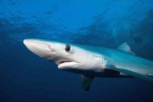 Los tiburones son una especie vuelnerable a la caza en el país. Foto: Martin Prochazkacz