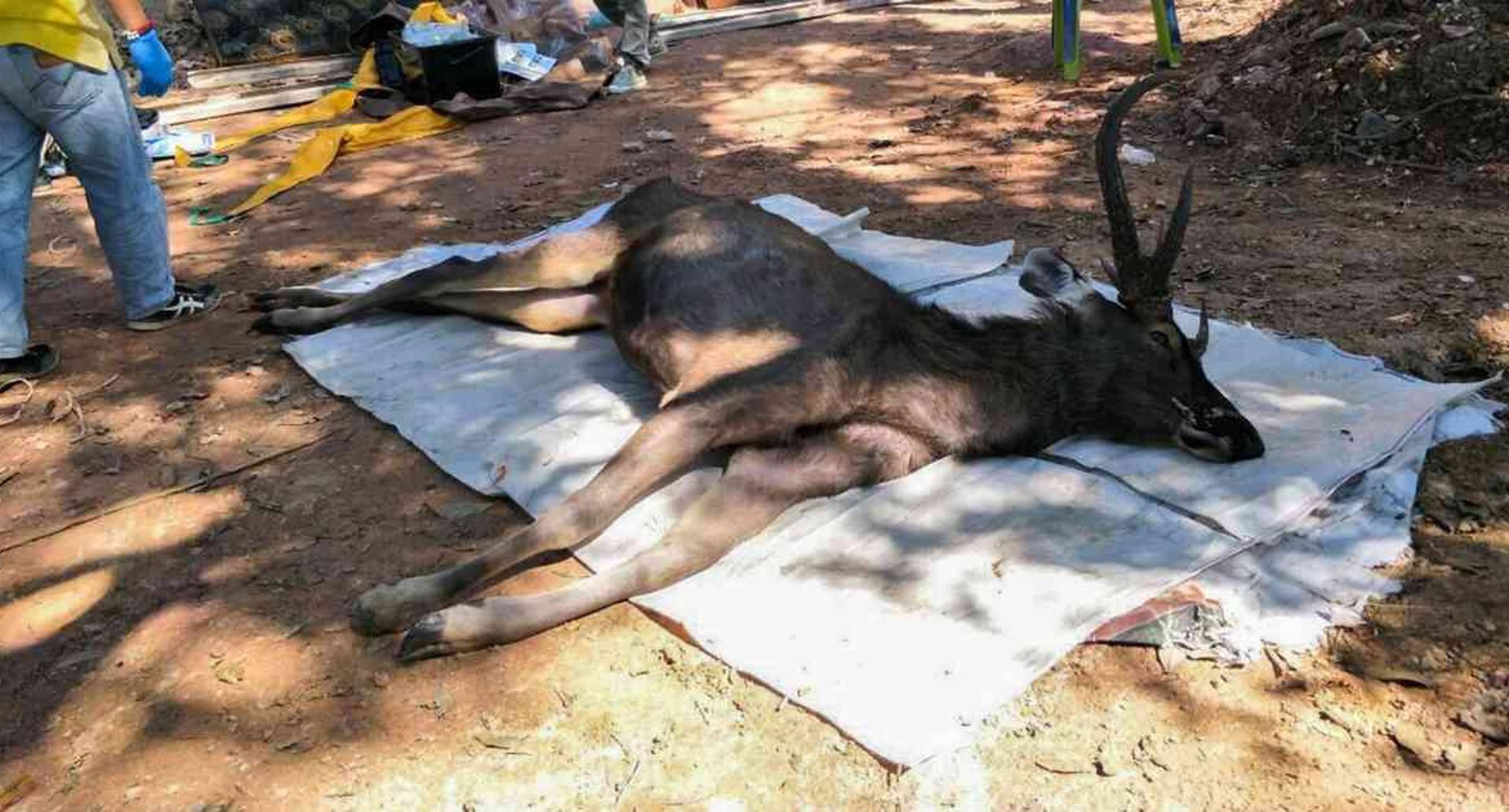 El ciervo fue encontrado al interior de un parque nacional. Foto: HANDOUT / OFFICE OF PROTECTED AREA REGION 13/AFP