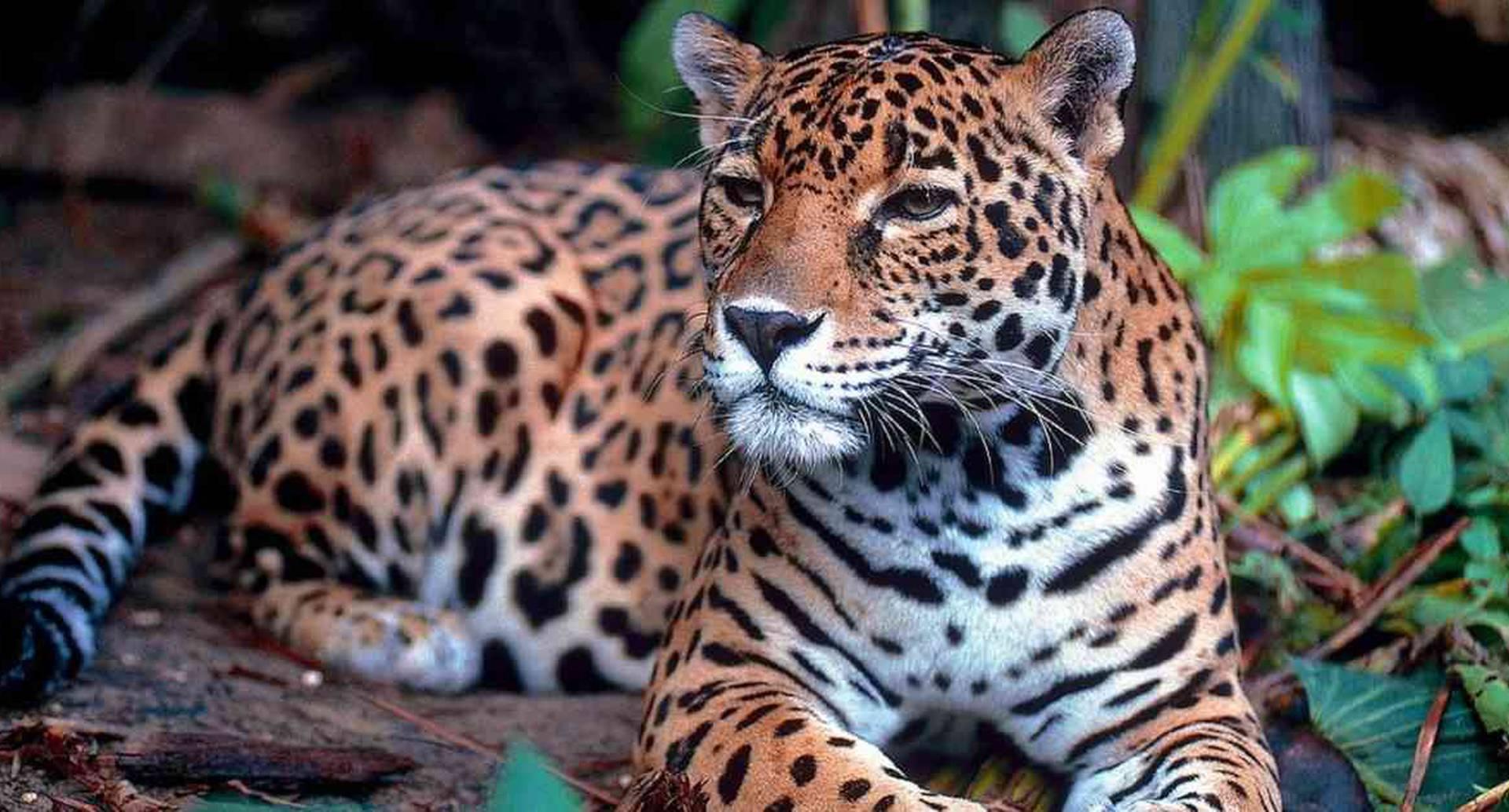 El jaguar es una de las especies más amenazadas en Latinoamérica. Foto: Pixabay