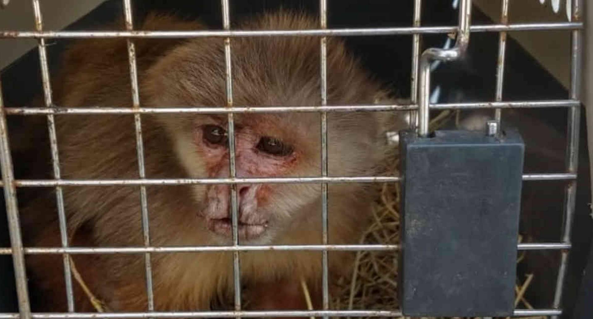El mono cariblanco se encontraba bajo condiciones de tenencia no adecuadas y con características de maltrato. Foto: CAR Cundinamarca.