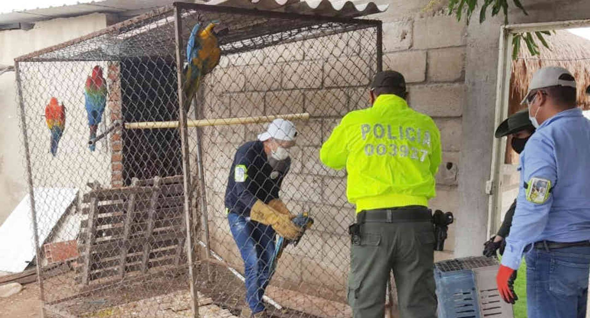 Durante el operativo fueron incautadas 10 guacamayas al interior de una jaula en el corregimiento de El Jabo, en zona rural de Valledupar. Foto:  Corpocesar.