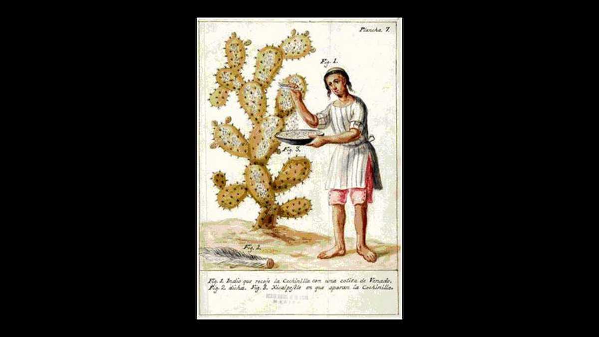 Dibujo del libro 'Memoria sobre la naturaleza, cultivo y beneficio de la grana' (1777), de José Antonio de Alzate y Ramírez.