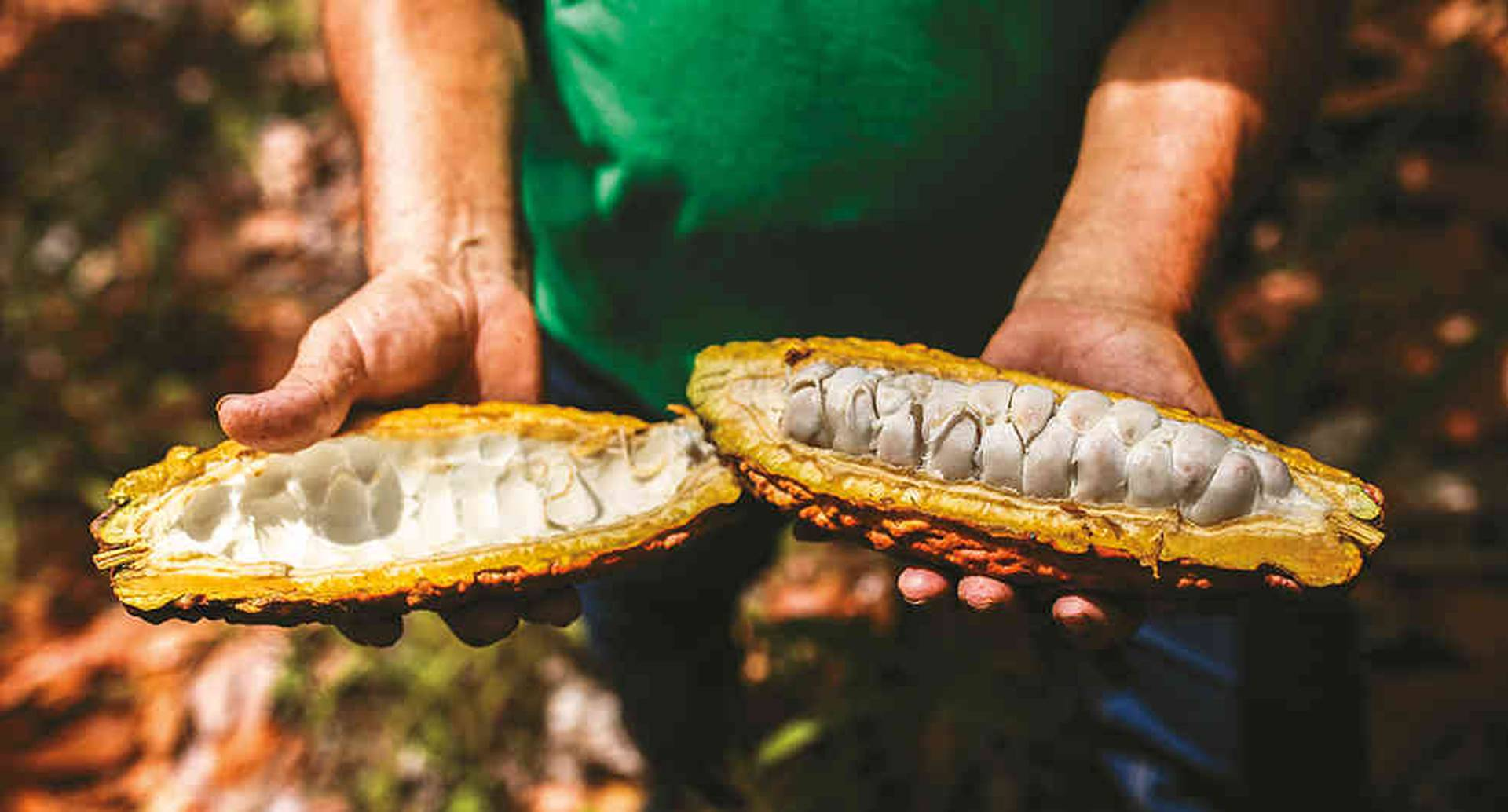 Cacao cosechado en Quípama, Boyaca, por la microempresa Asorcacao.