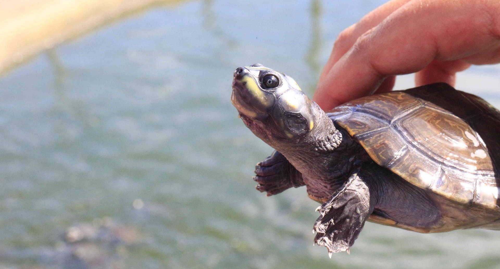 En el evento se llevó la liberación de las últimas 200 tortugas de las 3500 liberadas en todo el 2016.