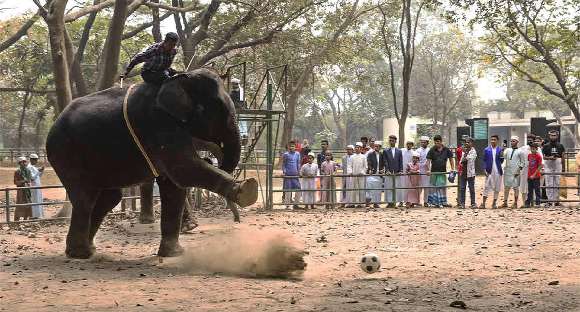 Un mahout, persona que maneja y conoce a los elefantes, monta uno de estos mamíferos durante un partido de fútbol, en el zoológico de Dhaka, en Dhaka. El zoológico más grande de Bangladesh se ha pronunciado en contra de los paseos en elefante. La prohibición a la actividad se introdujo el mes pasado, según señaló a la AFP el curador del zoológico Nurul Islam, quien también aseguró que esta nunca sería levantada. Foto: Joyeeta Roy/ AFP.