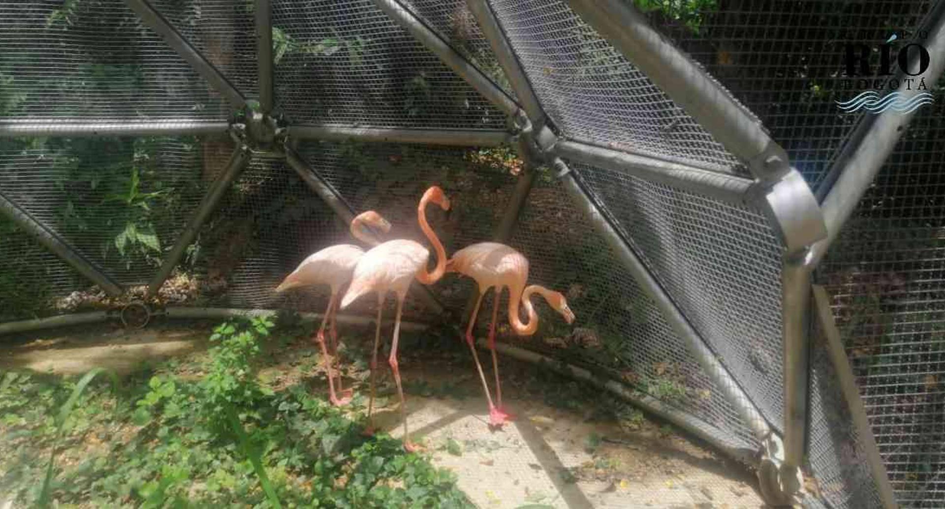 Los tres flamencos eran dos hembras y un macho que fueron víctimas del tráfico de fauna en Fusagasugá, Cundinamarca. Foto: CAR | Noticias hoy