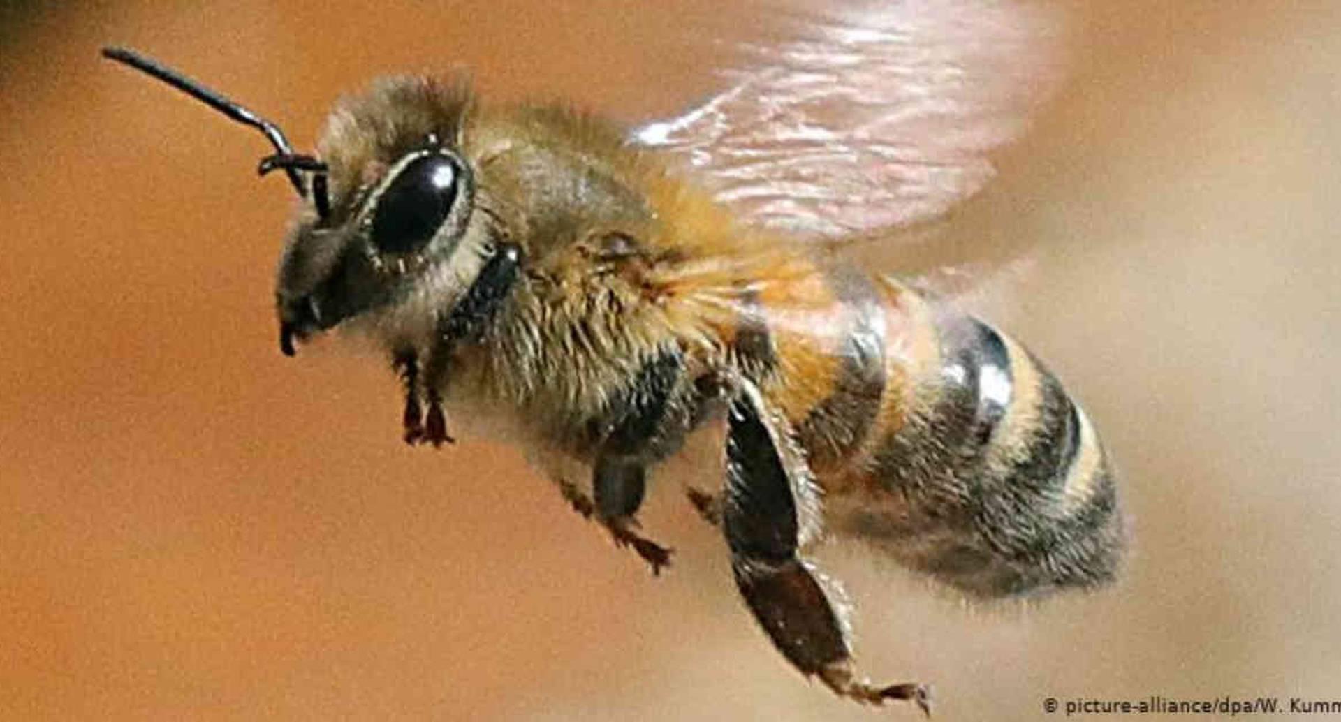 La abeja melífera occidental es la más popular en el mundo. Foto: W. Kumm vía DW