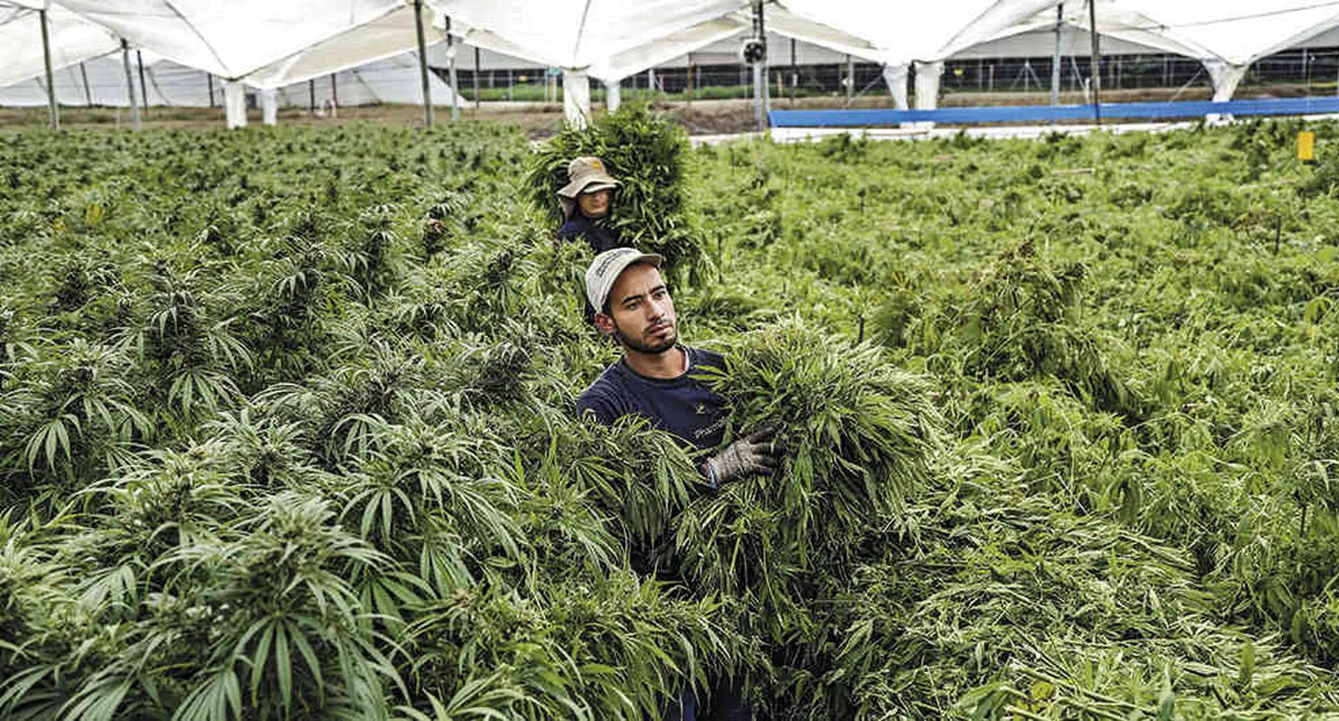 Colombia exportará semillas de cannabis a Estados Unidos