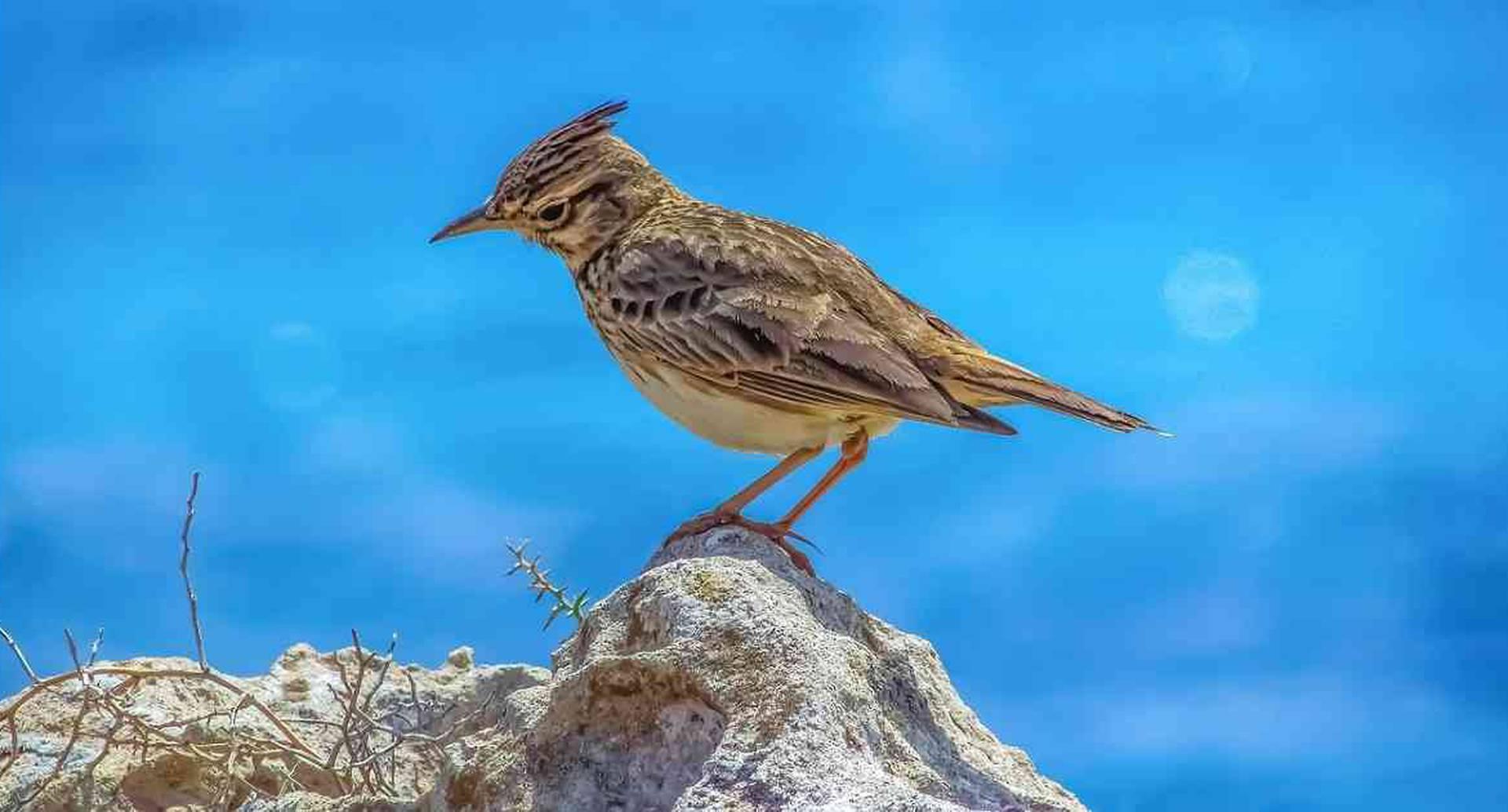 La alondra es una de las especies que más se ha reducido en los últimos años. Foto: Pixabay