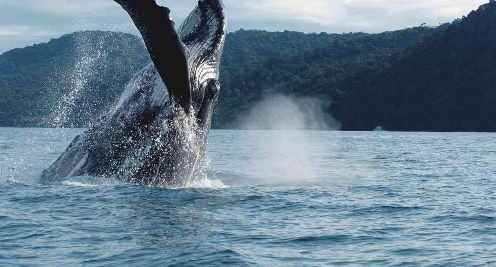 El avistamiento de ballenas Jorobadas o Yubartas arrancó oficialmente el pasado 15 de julio y se extenderá hasta el 12 de octubre.