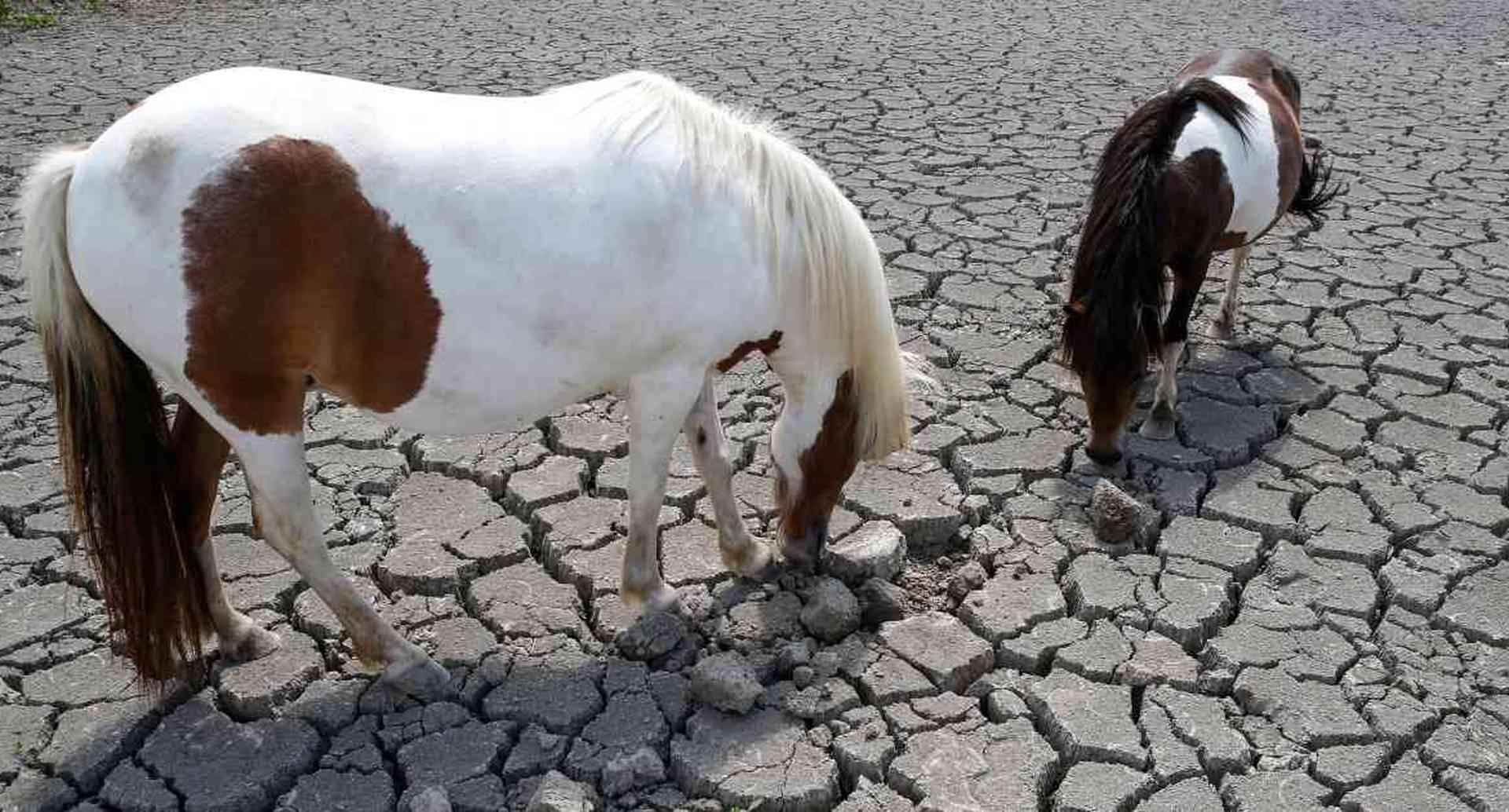 Los animales también resultaron afectados en Europa por cuenta de la intensa ola de calor registrada en el pasado mes de julio.  Foto:  PASCAL POCHARD-CASABIANCA / AFP