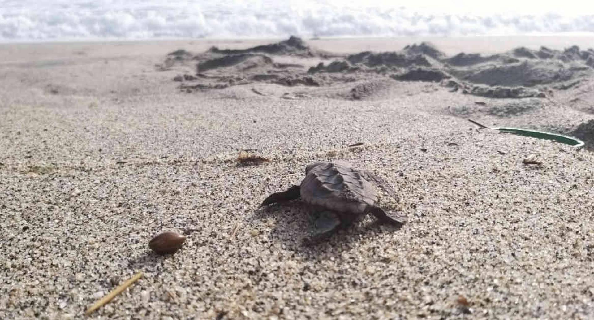 El nacimiento de las las tortugas Caretta Caretta da cuenta del buen estado de conservación en el que se encuentra esta área protegida. Foto: PNN