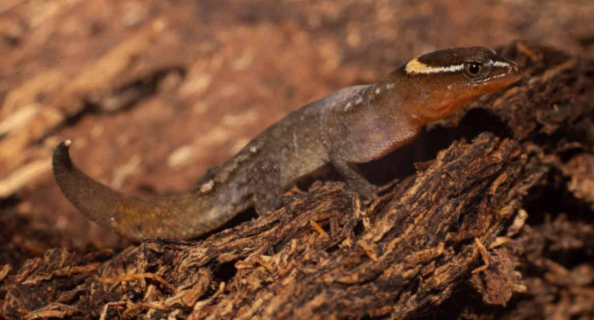 Varias poblaciones de Lepidoblepharis miyatai, el lagarto más pequeño mundo fueron vistas en algunos sectores del parque Tayrona. Foto: Parques Nacionales Naturales.