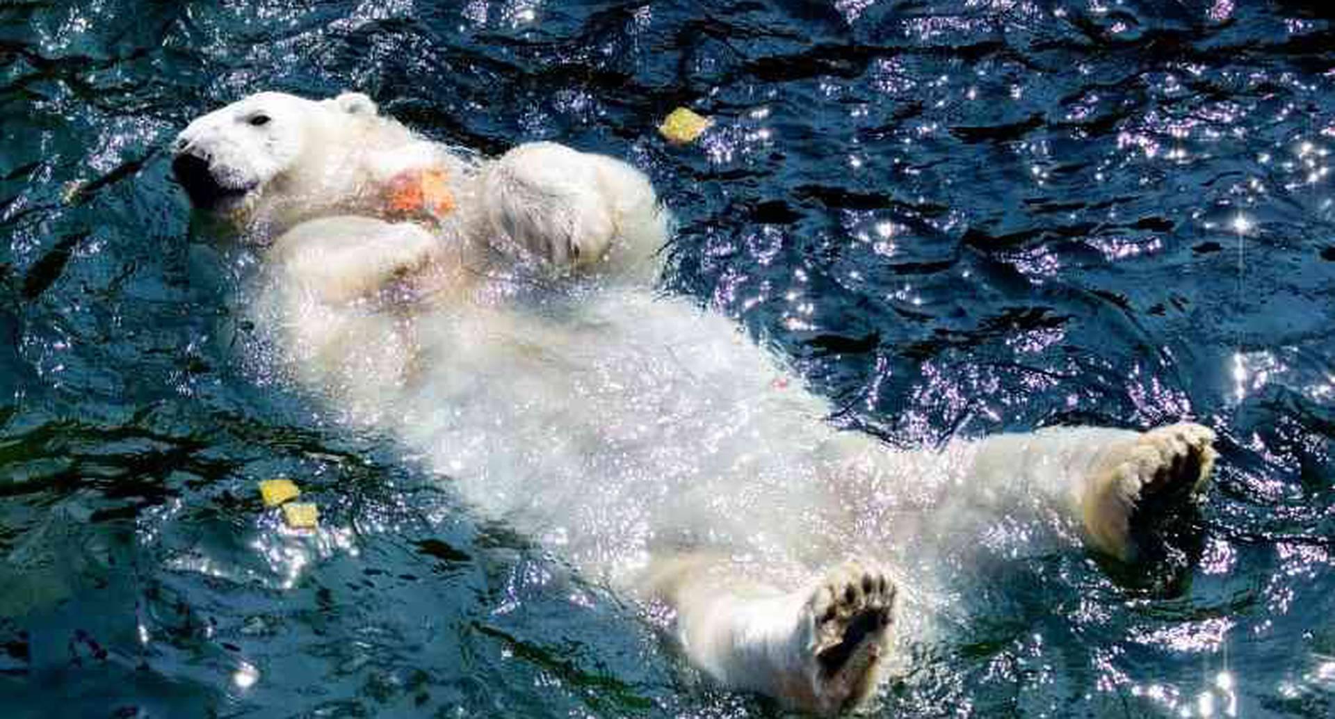 """El oso polar """"Milana"""" sostiene una torta de hielo con fruta congelada mientras toma un baño en su piscina en el zoológico de Hannover, en el norte de Alemania, donde las temperaturas alcanzaron alrededor de los 33 grados centígrados."""