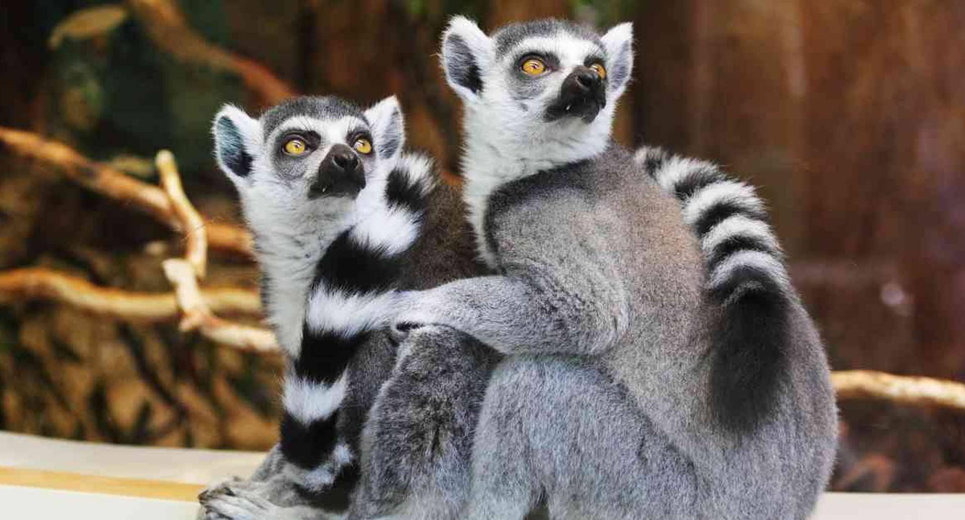 Los lémures de Madagascar son una de las especies que subió de categoría en la lista roja de la UICN. Foto: Pixabay.