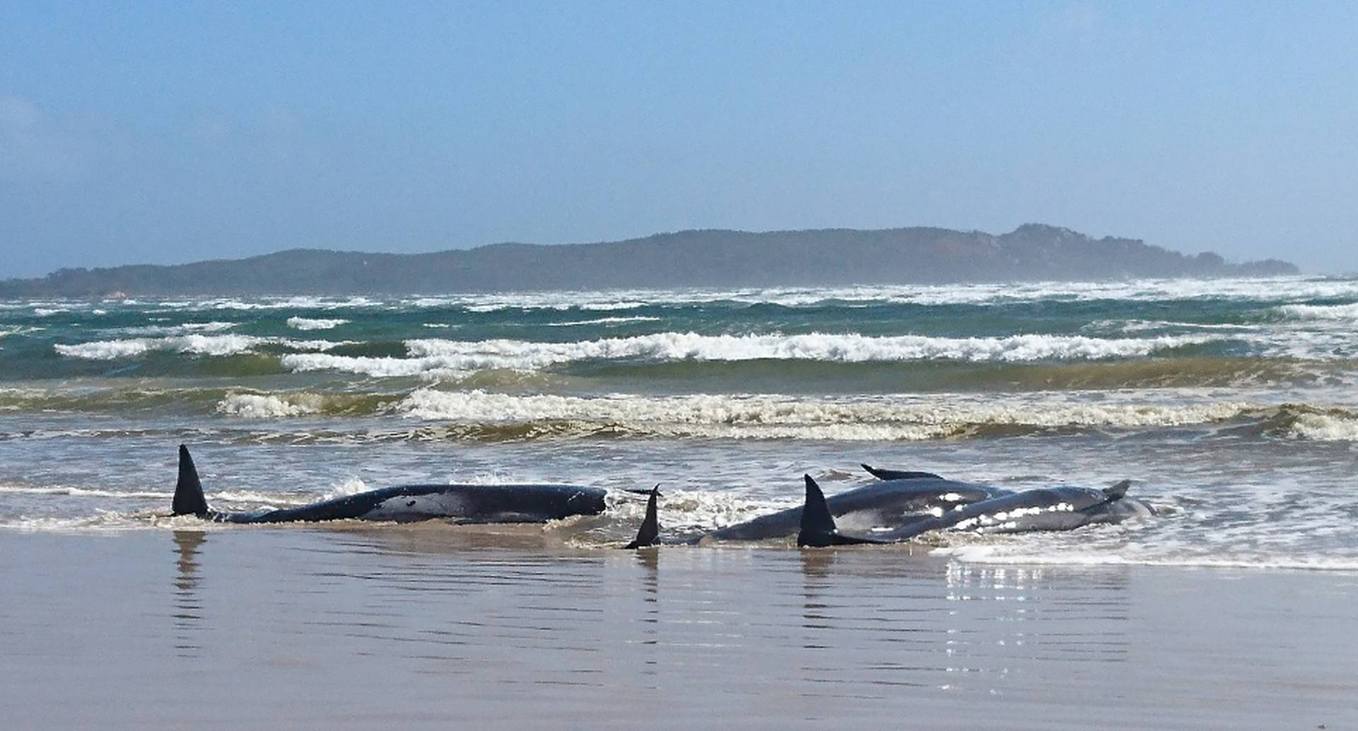 Centenares de ballenas quedaron varadas en un banco de arena en el puerto de Macquarie, en la escarpada costa oeste de Tasmania (Australia).