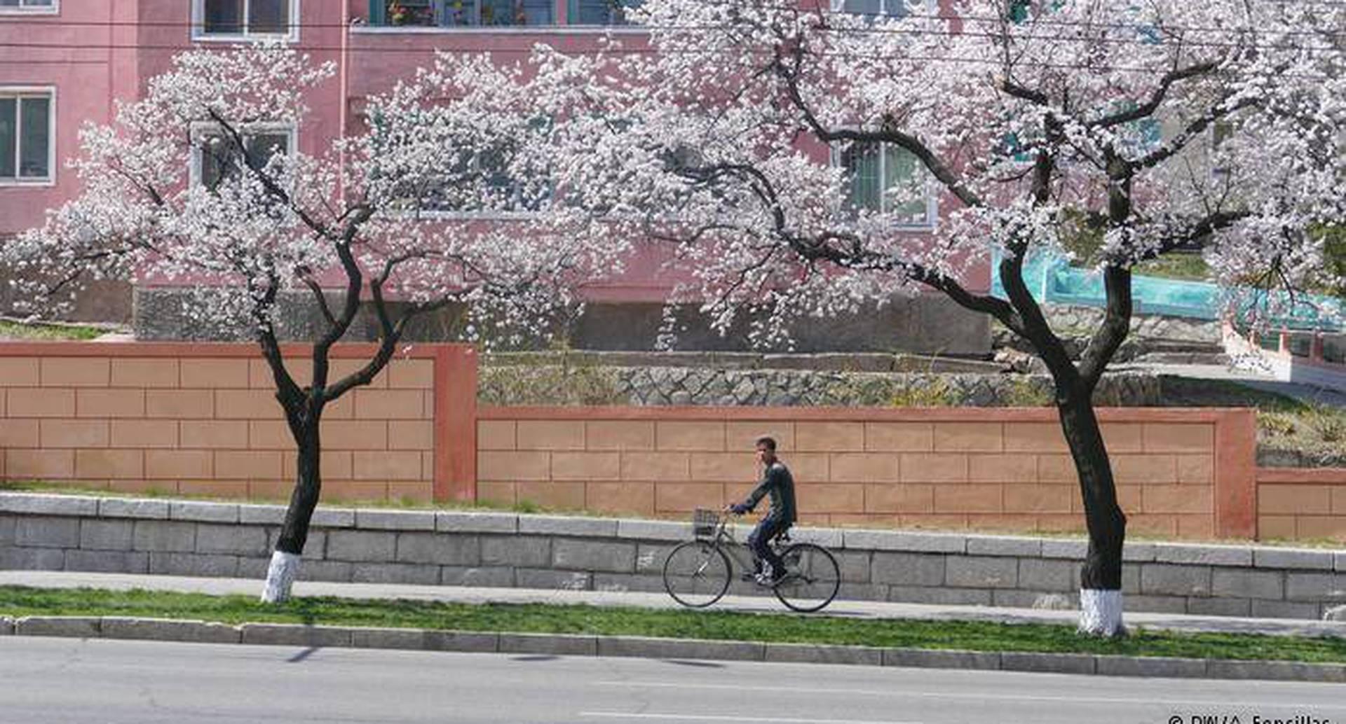 Los edificios en Pyongyang están pintados de vivos colores que dan un aire único y alegre a la ciudad. La sakura o floración de cerezos que conocemos gracias a Japón contribuye a la variedad cromática. El número creciente de coches en calles que años atrás estaban vacías convive con la clásica bicicleta. Foto: DW