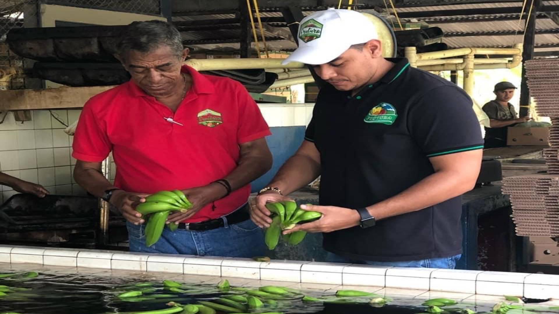 Juan Esteban y su padre, Walter,  preparan varios plátanos listos para exportar.