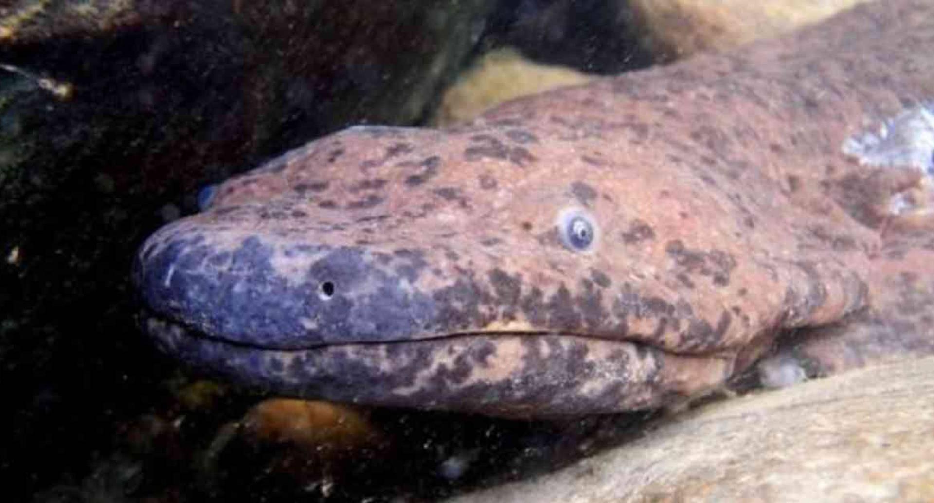La nueva especie fue descubierta con base en análisis genéticos de un espécimen que había sido capturado hace más de siete décadas. Foto: BEN TAPLEY/ZSL vía BBC.