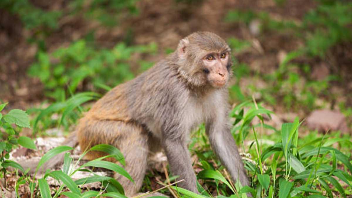 China reporta primera muerte por herpes B, un extraño virus que transmiten  los monos