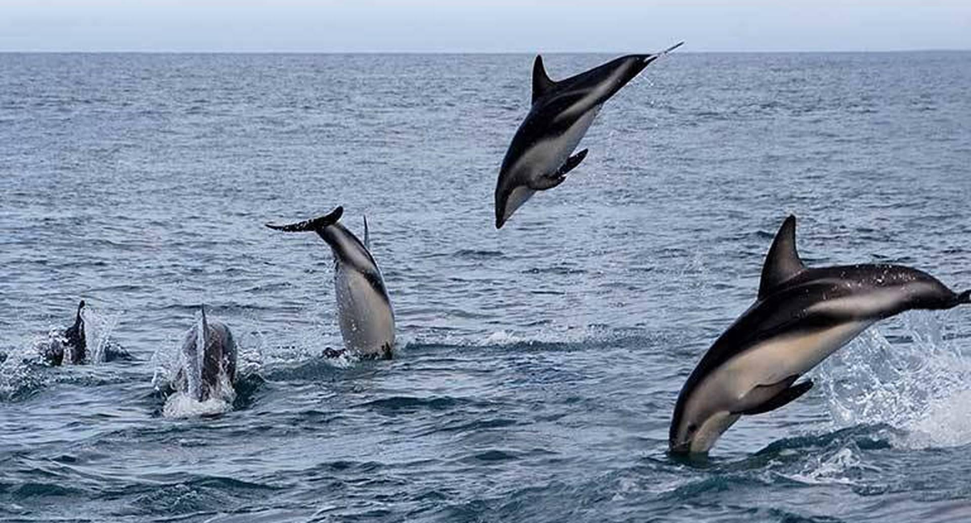 Estos delfines son especies presentes en las aguas peruanas. Foto: Mongabay Latam