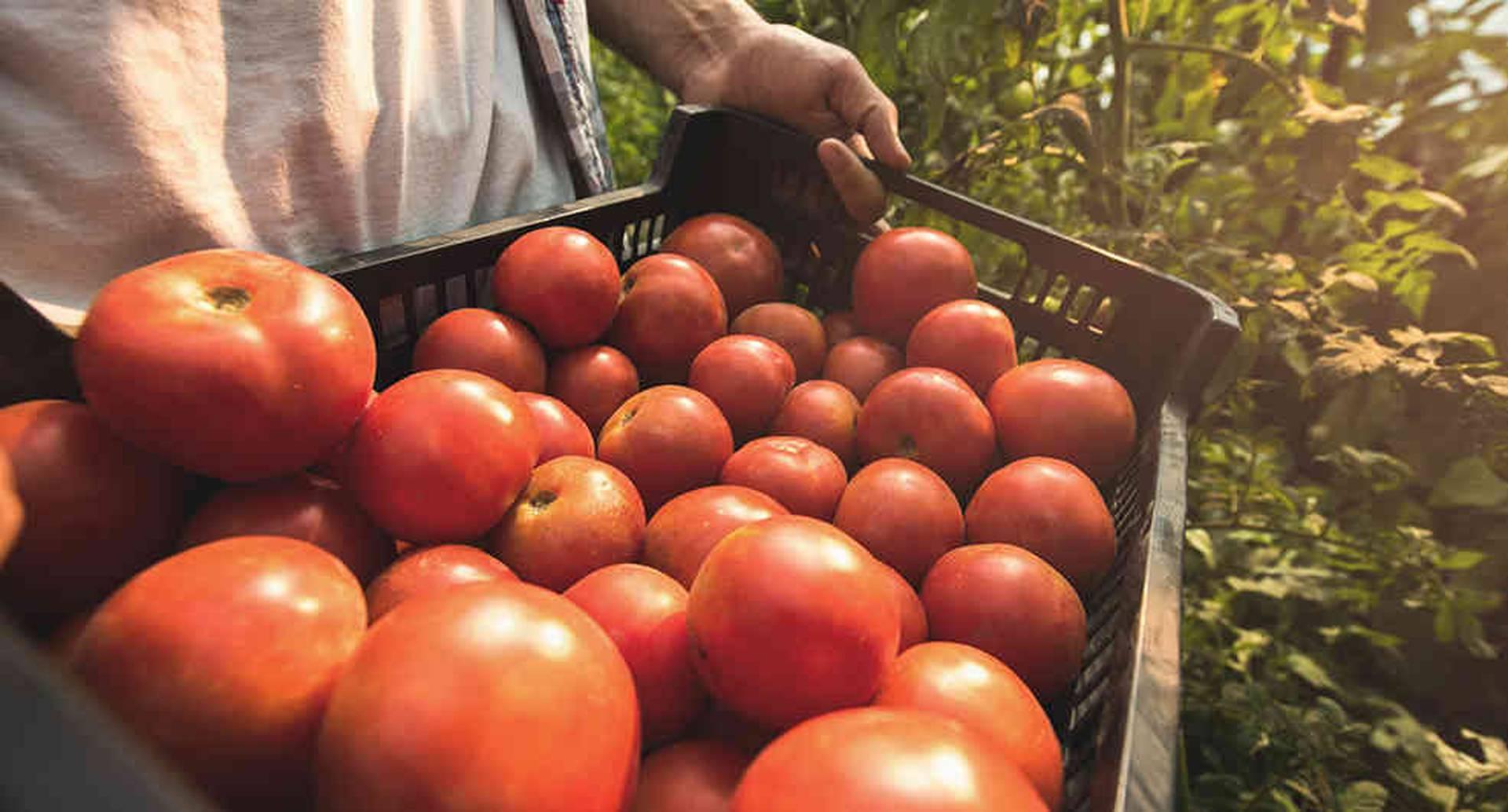 En las tierras de Santander de Quilichao y Toribío (Cauca) se cultiva tomate en invernaderos. Foto: iStock