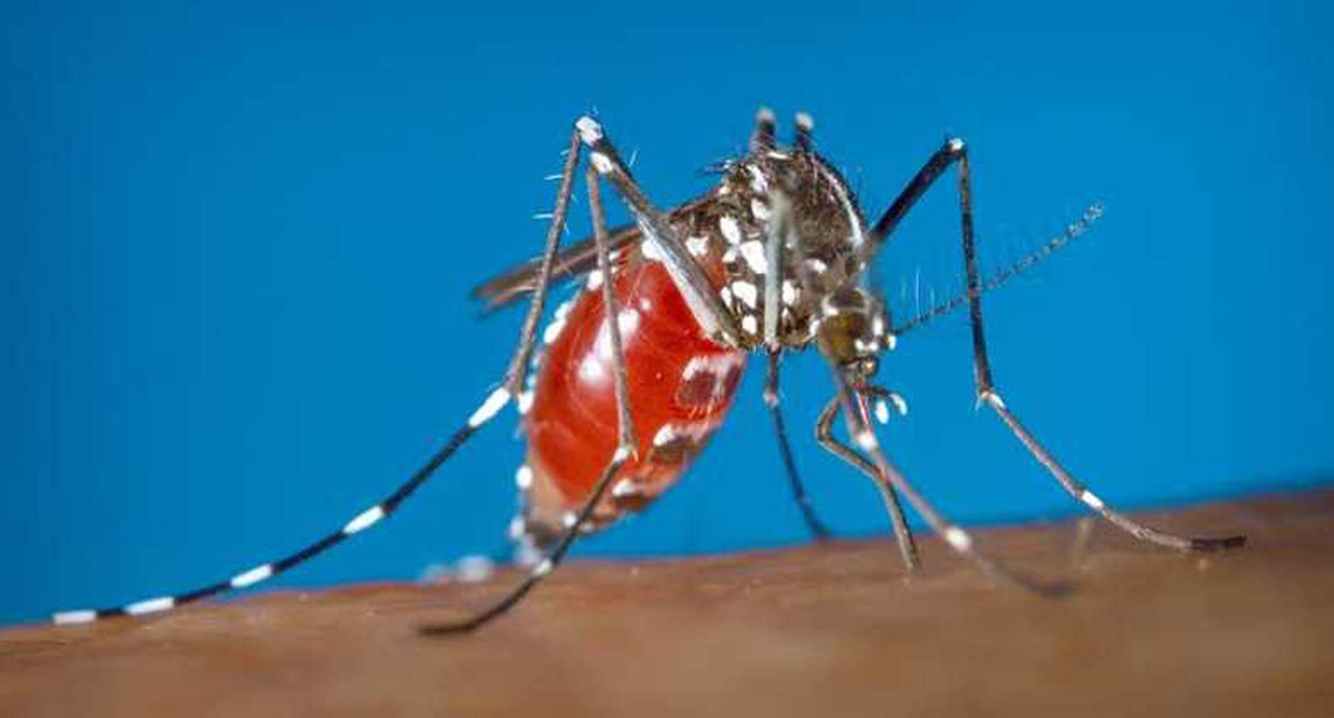 El mosquito Aedes aegypti que transmite el virus del zika, la fiebre amarilla y el chikungunya, también podría ser un vector para mayaro.