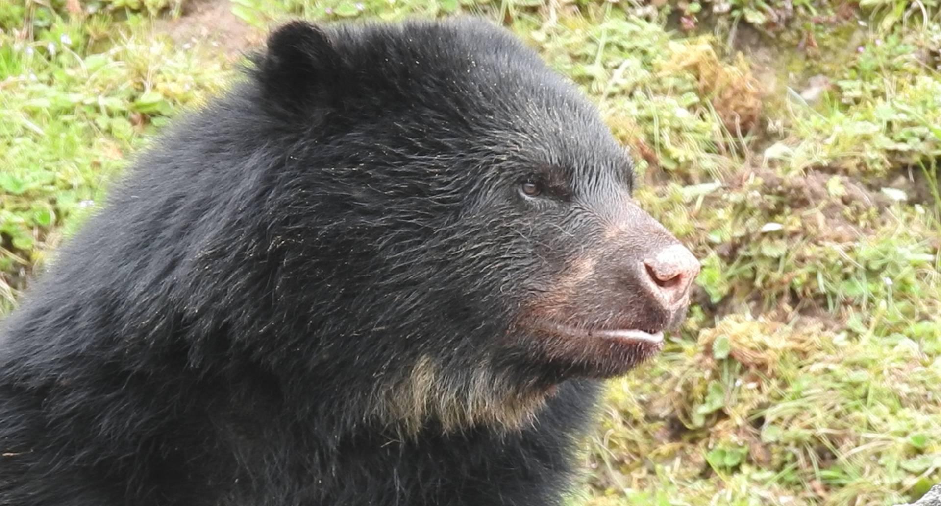 El oso de anteojos es el guardián de Chingaza, uno de los ecosistemas de la cuenca del río Bogotá.