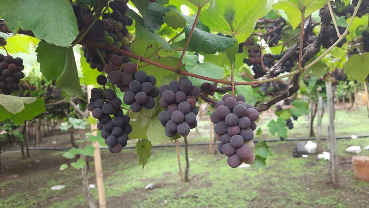 Las uvas Isabella también se utilizan para producir vino, mermelada y arequipe