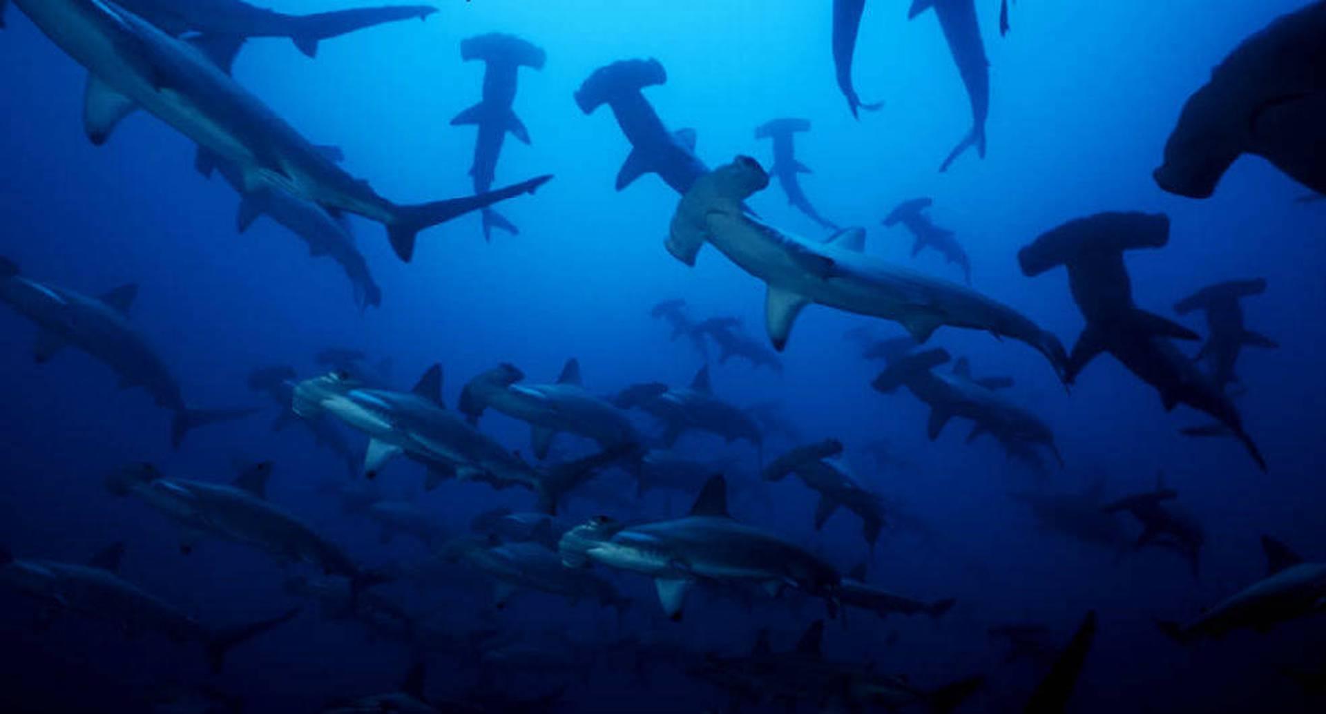 Ante la falta de estudios y controles sobre la caza de tiburones fue solicitado la eliminación del aprovechamiento de sus aletas en Colombia. Foto: archivo/Semana.