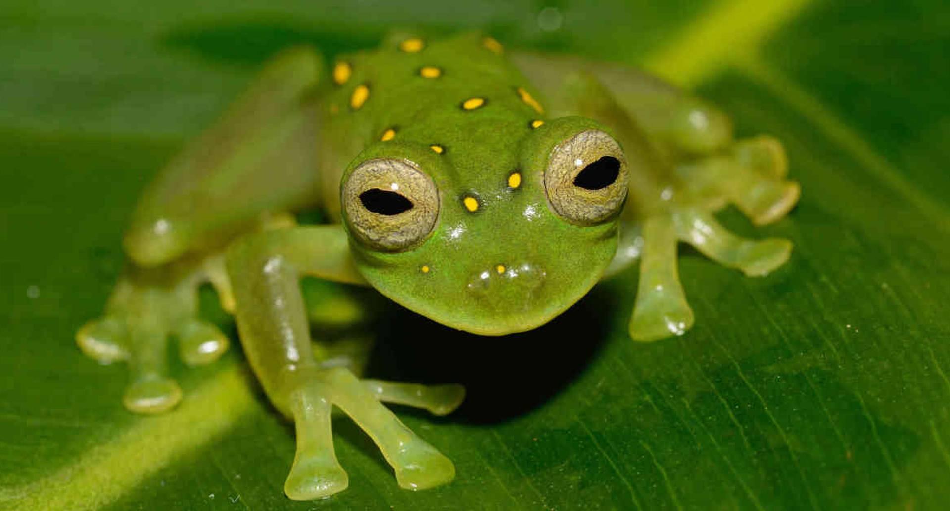 Los anfibios, como las ranas, se encuentran en el grupo de animales muy vulnerables a extinguirse por el aumento de las temperaturas y los cambios en su hábitat. Foto: WCS Colombia.