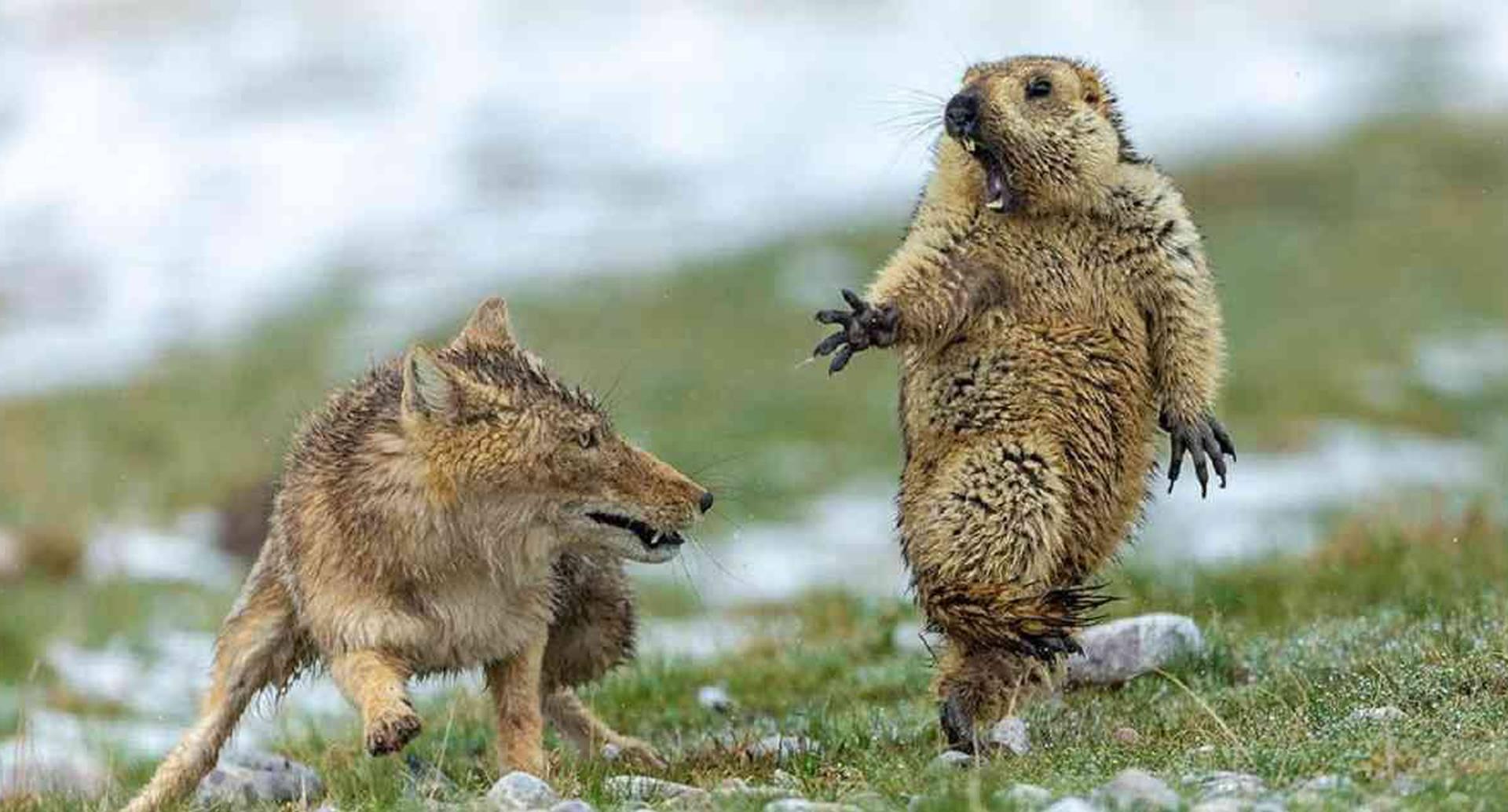 Ni siquiera la intervención de la madre de esta cría de marmota pudo cambiar el resultado de su encuentro con un zorro. Foto: YONGQING BAO