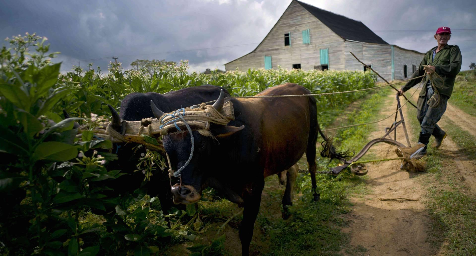 Jorge Luis León Becerra usa un arado alimentado por bueyes en una zona donde recientemente se cosecharon plantas de tabaco en la finca de Martínez, en la provincia occidental de Pinar del Río, Cuba (Foto AP / Ramón Espinosa)
